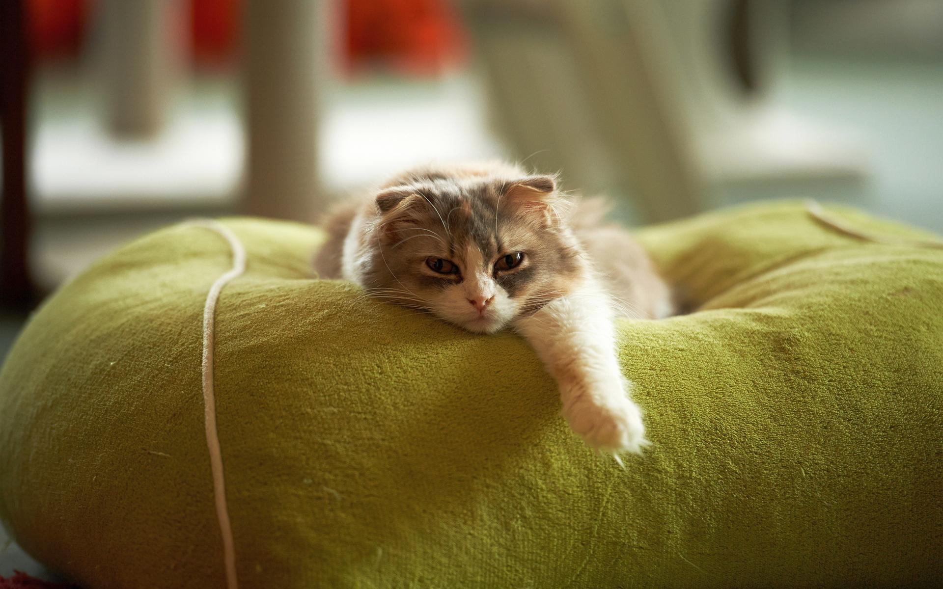 lazy cat funny