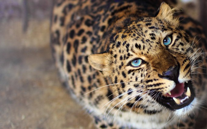 leopard angry eyes