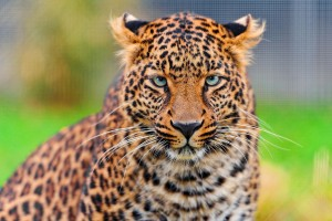 leopard funny face