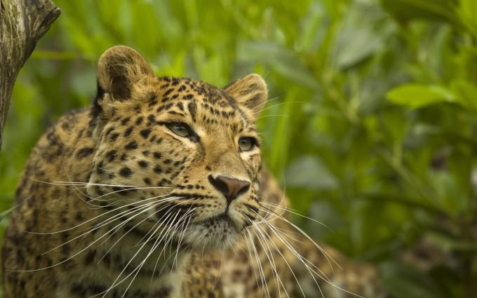leopard wild animal