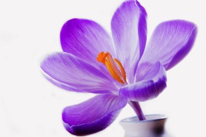 lilac crocus purple