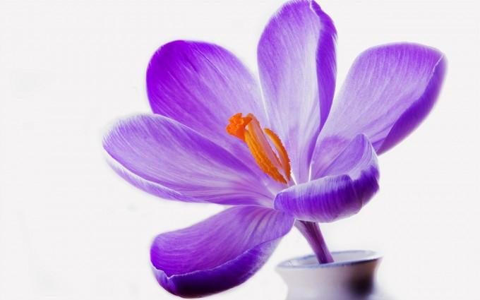 lilac crocus purple