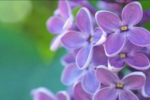 lilac flower hd