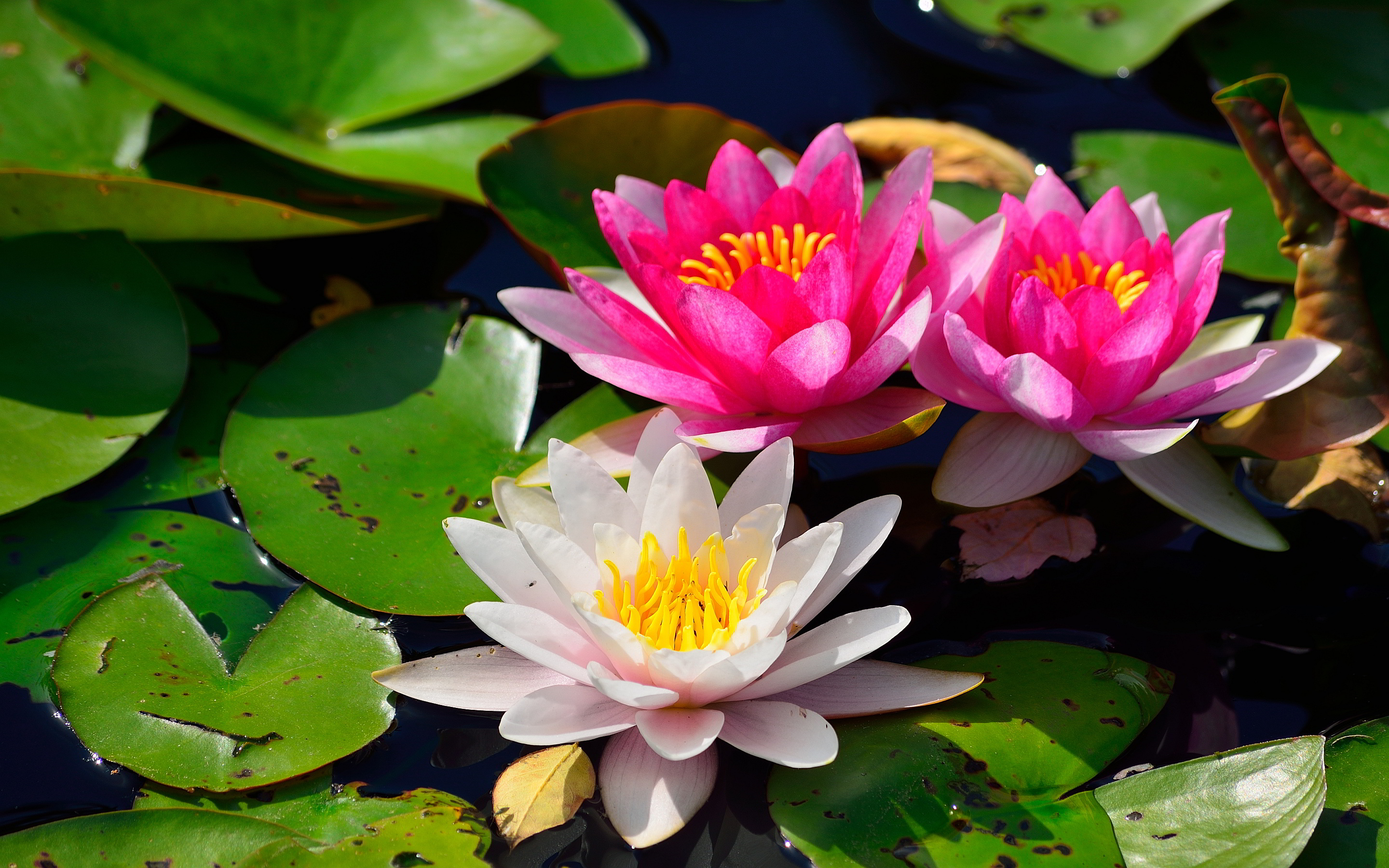 lilies pink flowers