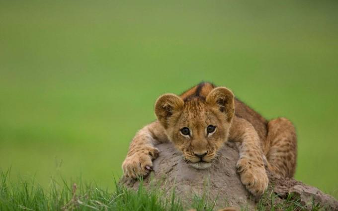 lion cute wallpaper