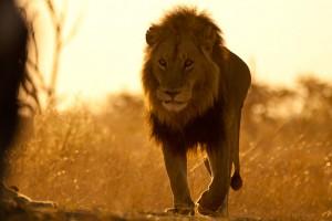 lion pride walk