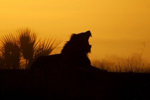 lion yawning sunrise