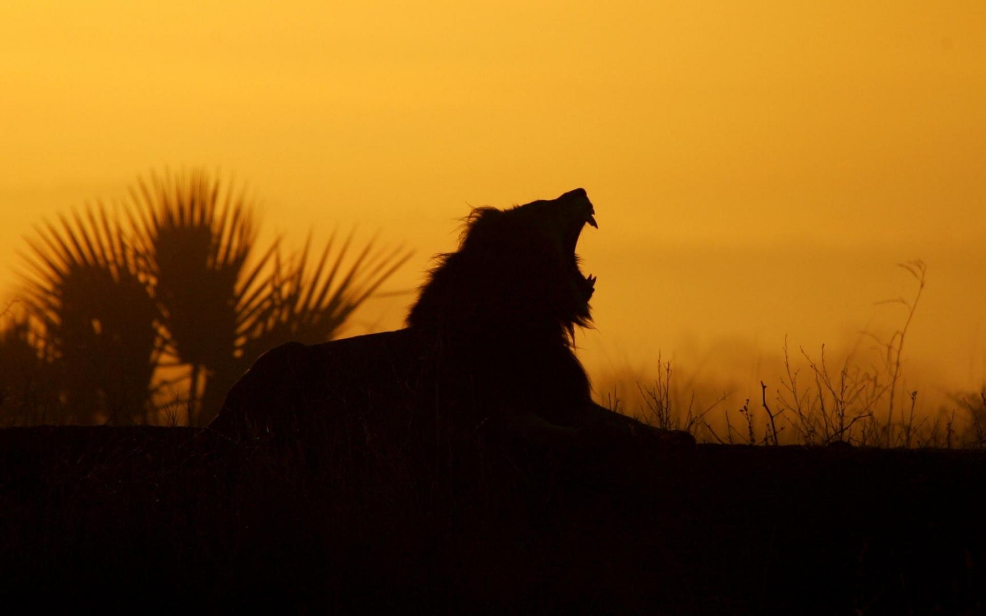 lion yawning sunrise
