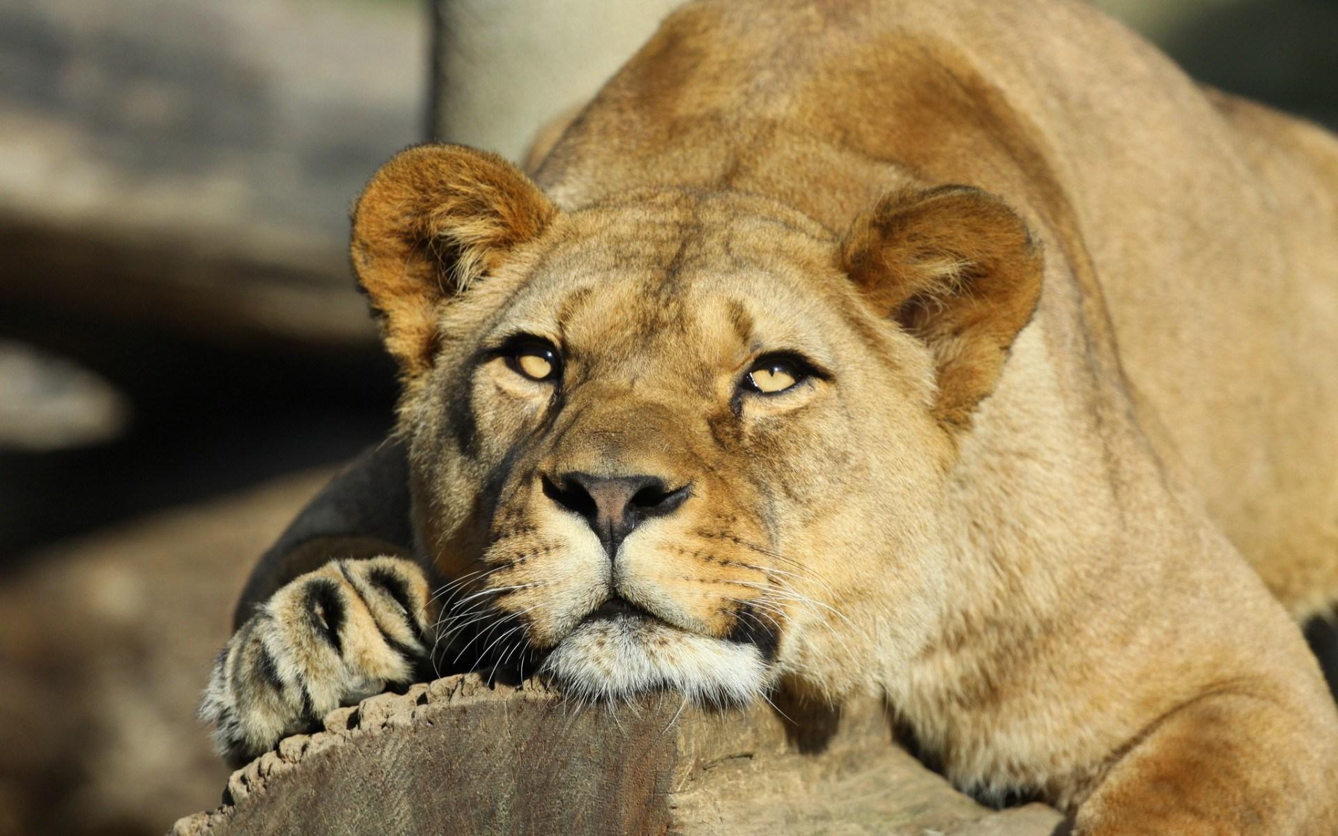 lioness curious