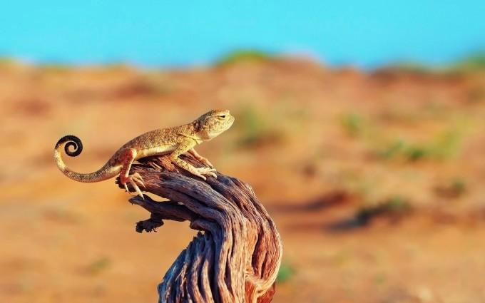 lizard wild