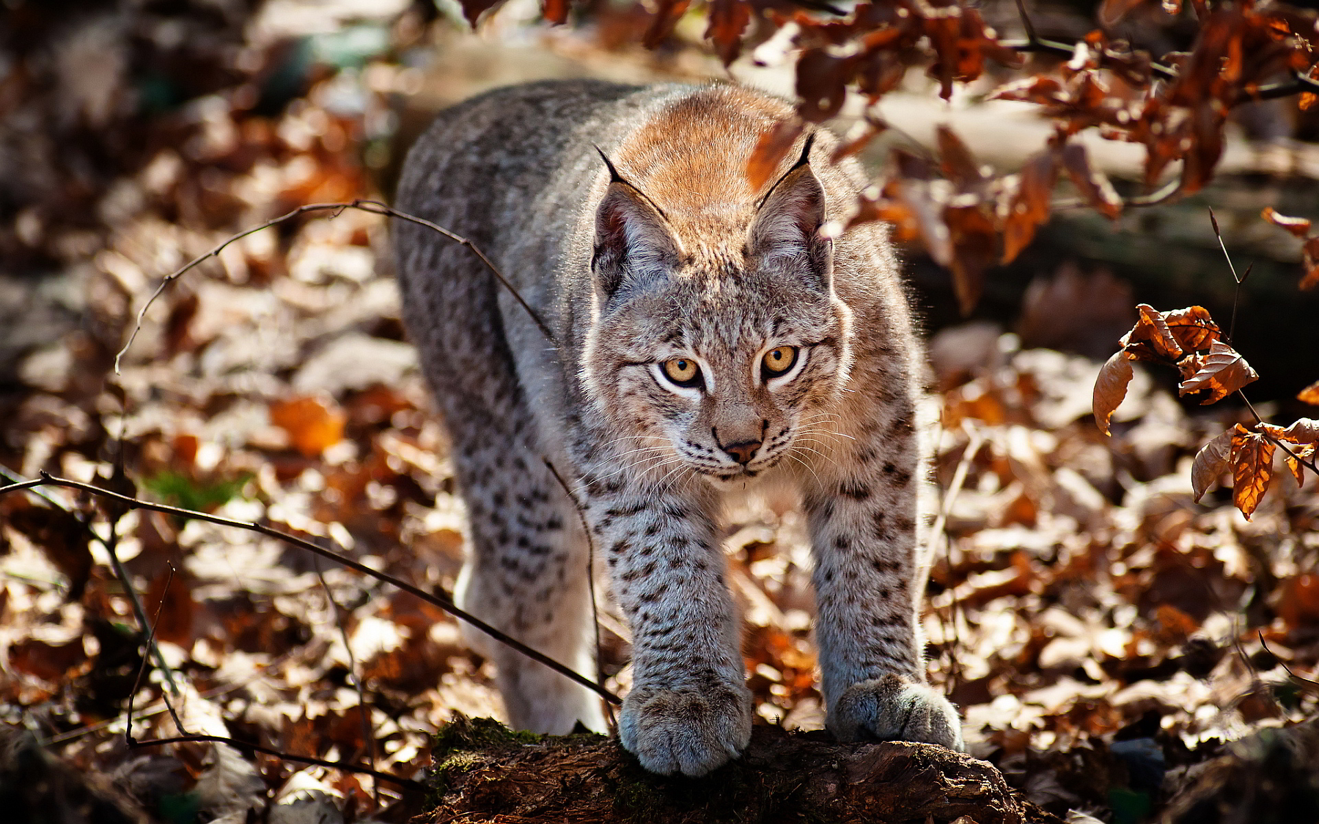 lynx cat wallpaper