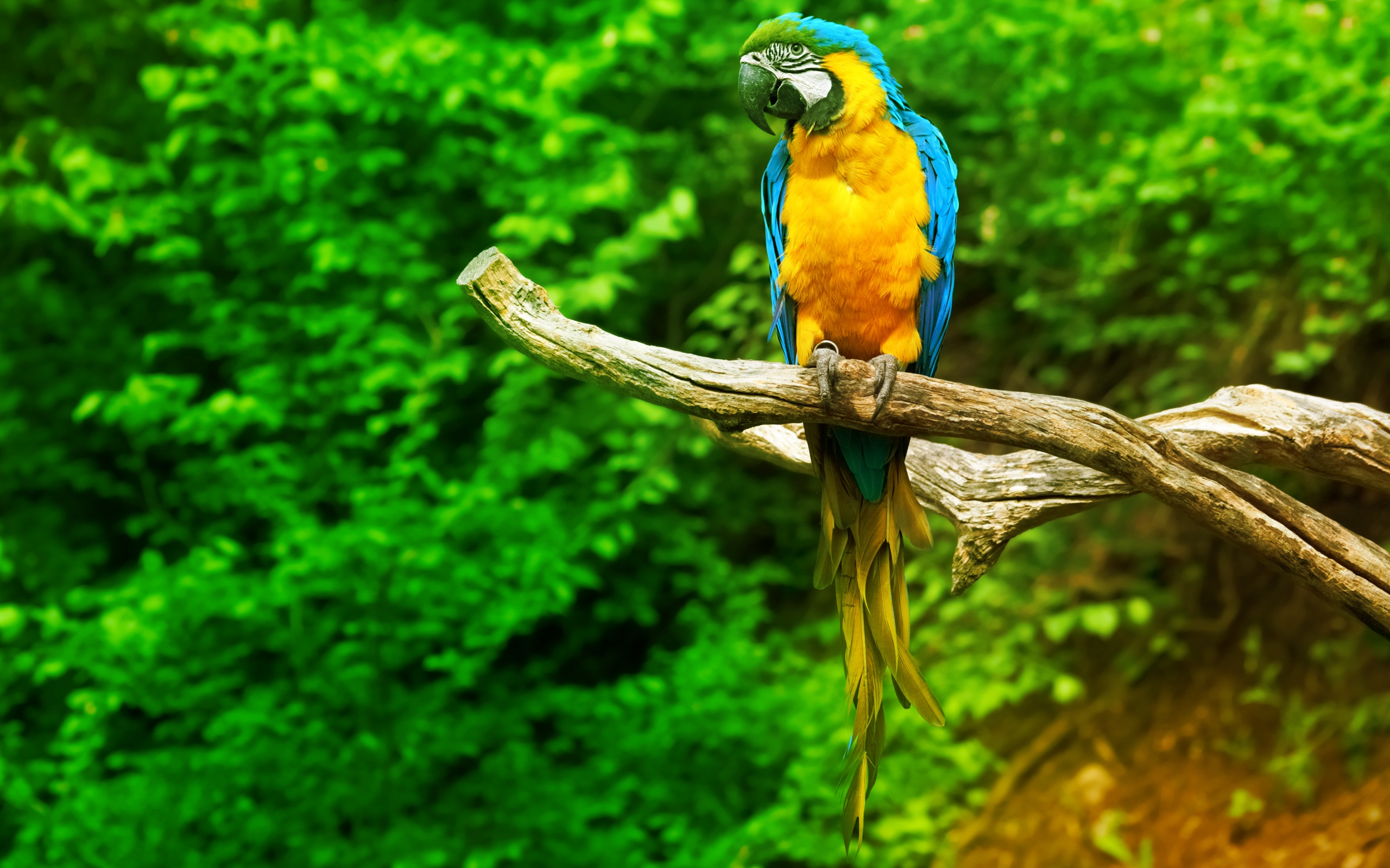 macaw parrot forest