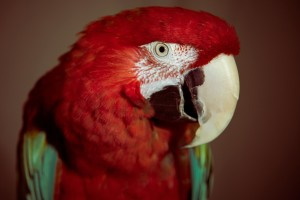 macaw parrot hd download