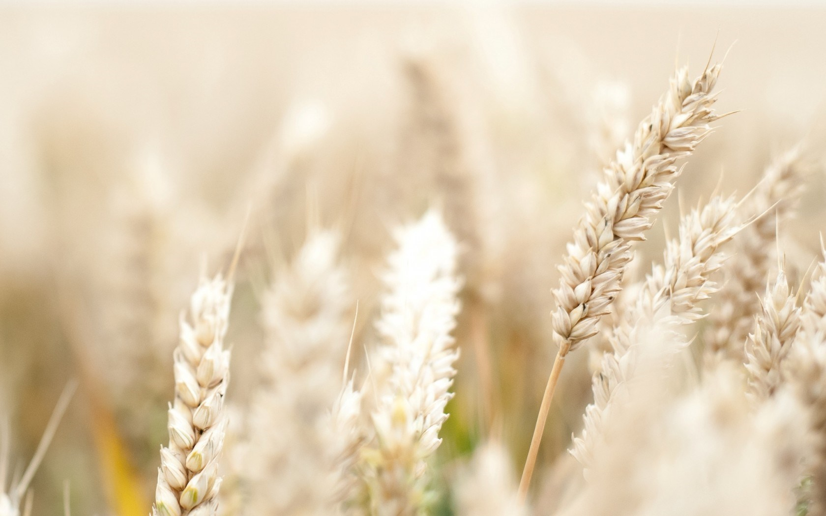 macro pictures wheat