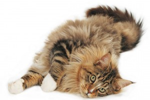 maine coon cat funny