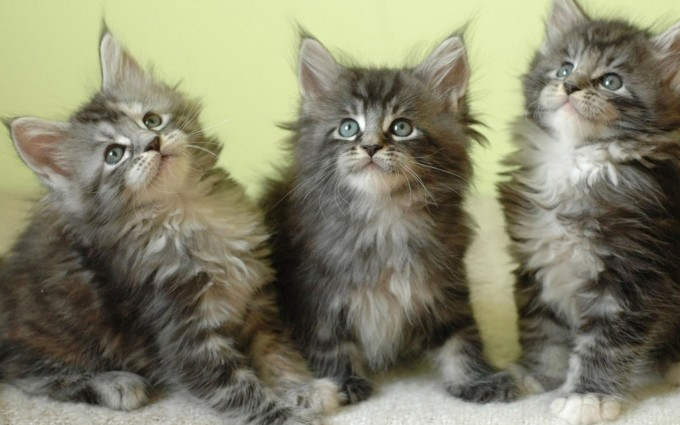 maine coon cat hd