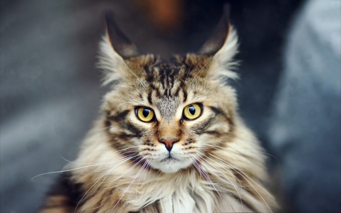 maine coon cat photography