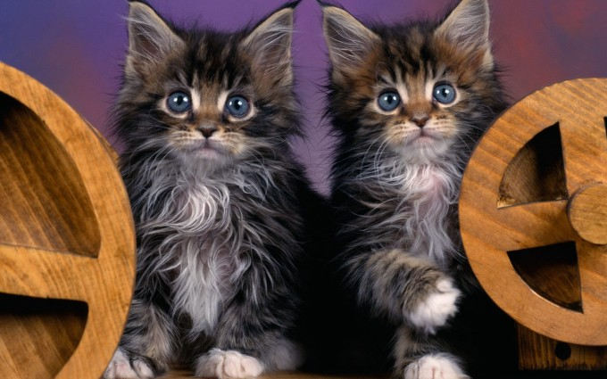 maine coon kittens pretty