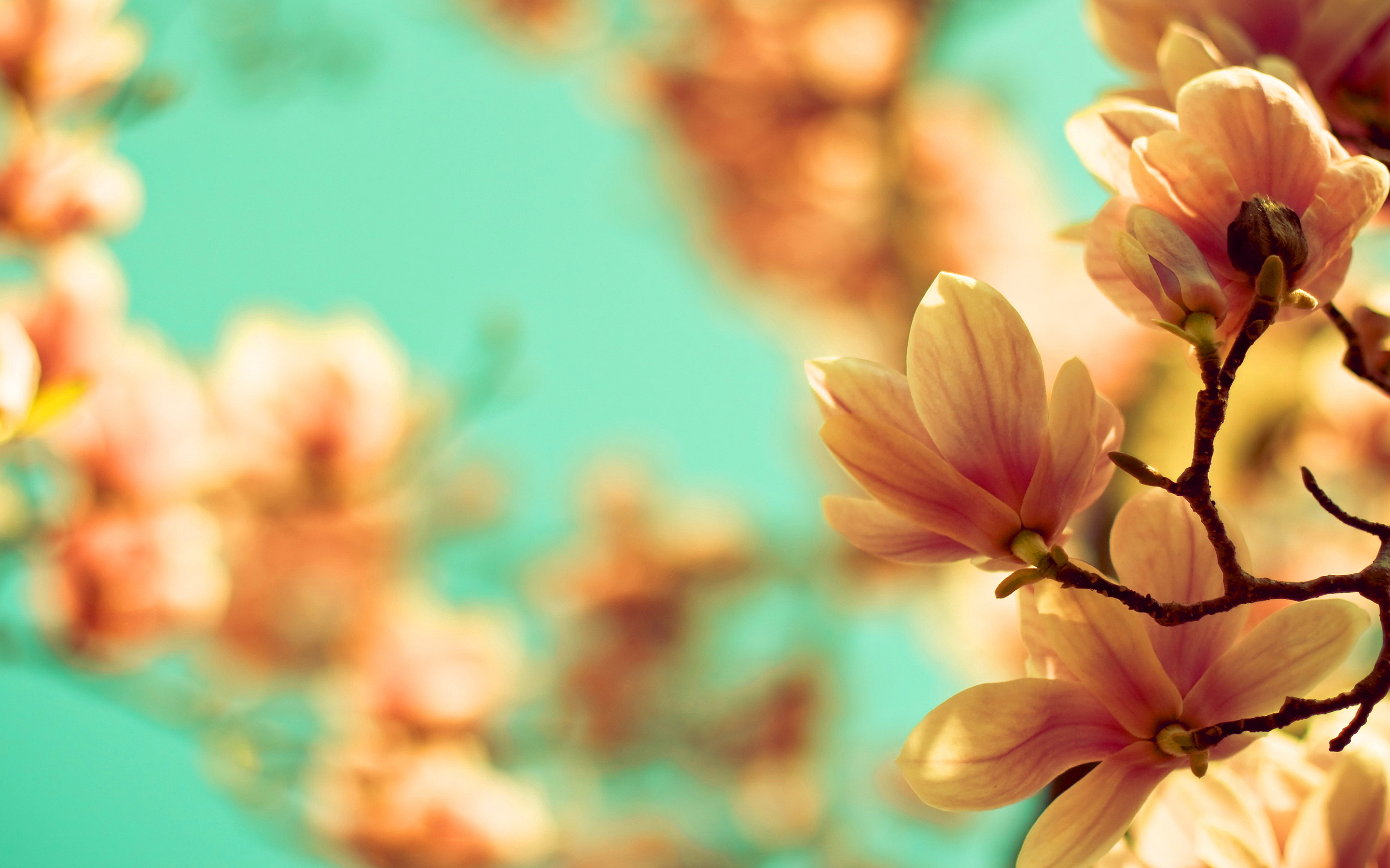 mangolia flowers pictures