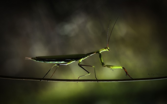 mantis wallpaper