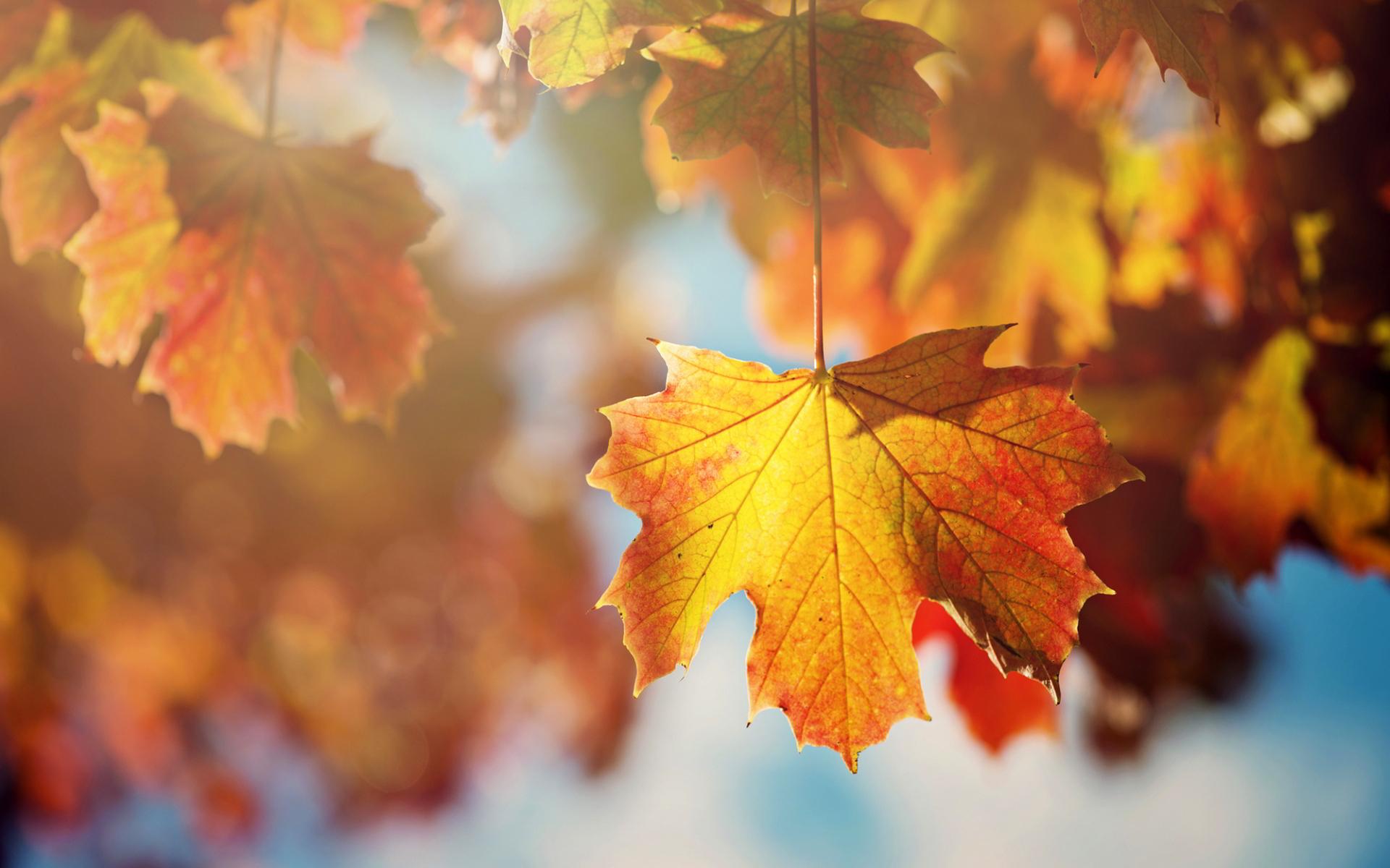 maple leaf autumn picture
