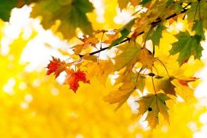maple trees yellow