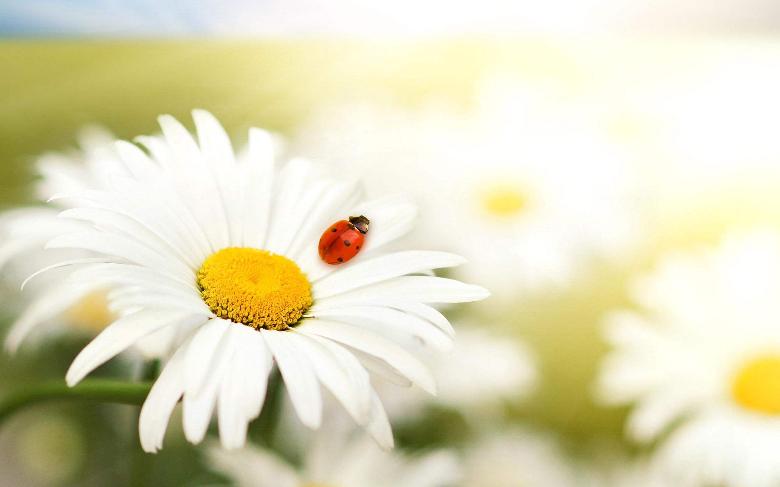 maybug daisy