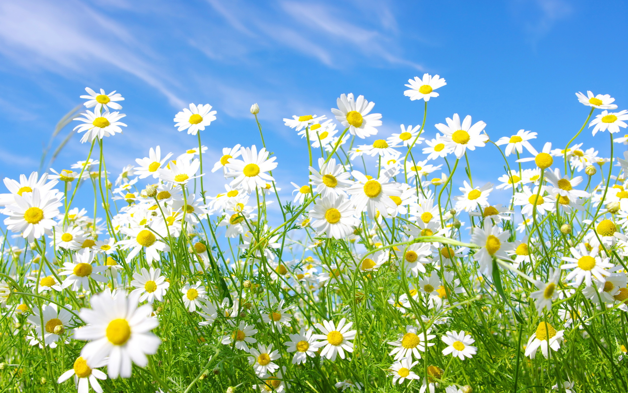 meadow wallpaper daisies