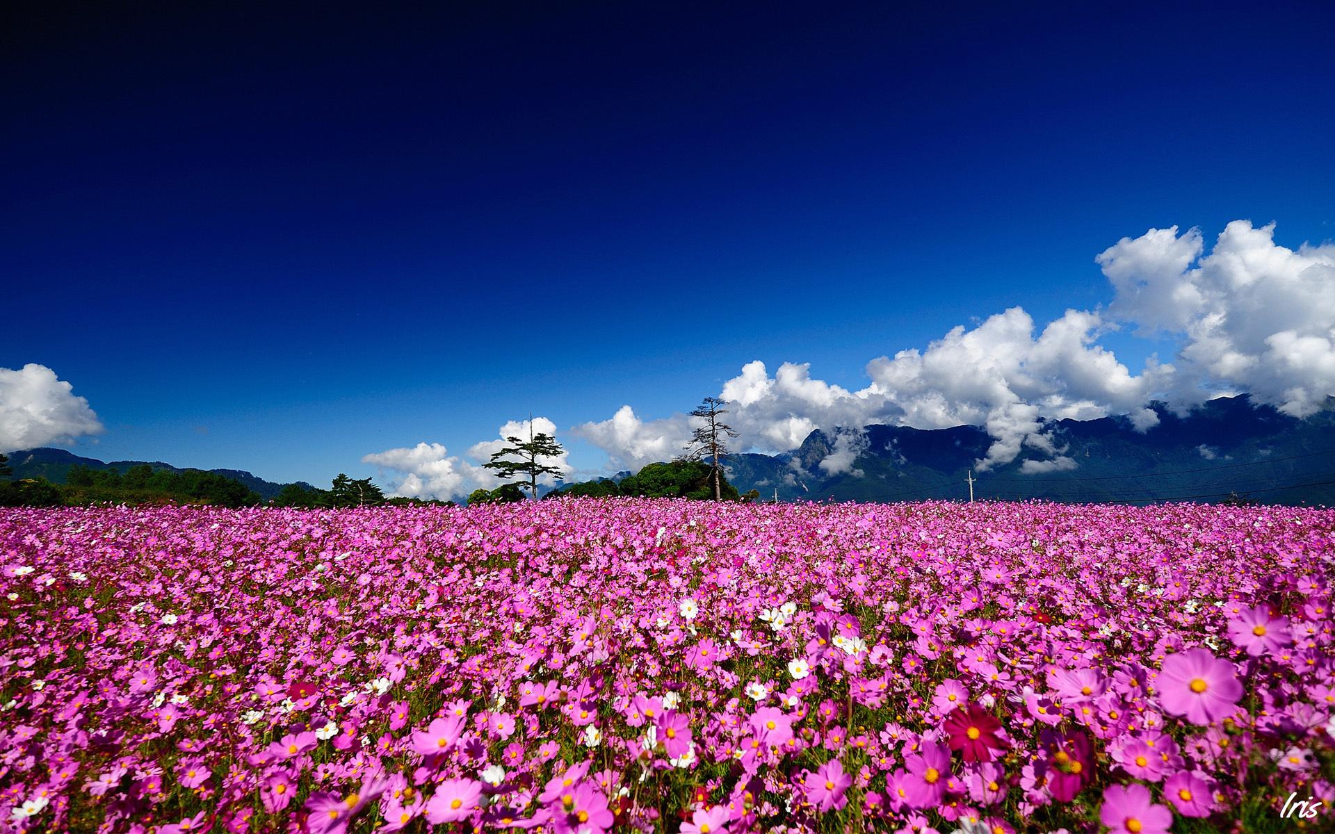 meadow wallpaper iris