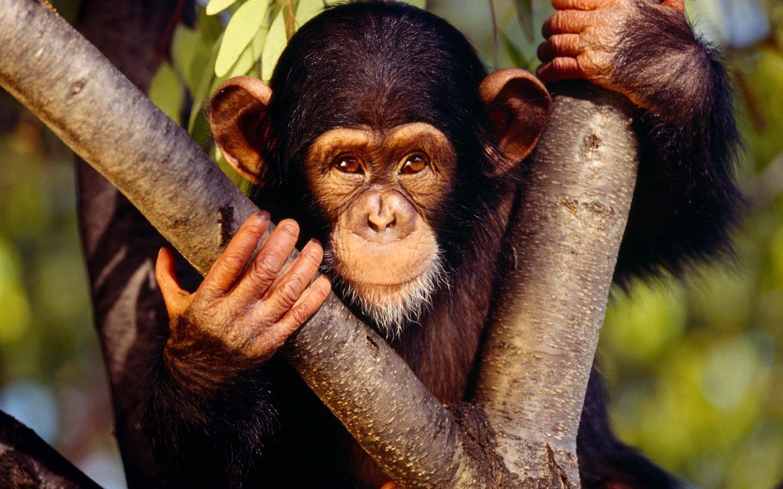 monkey hd images