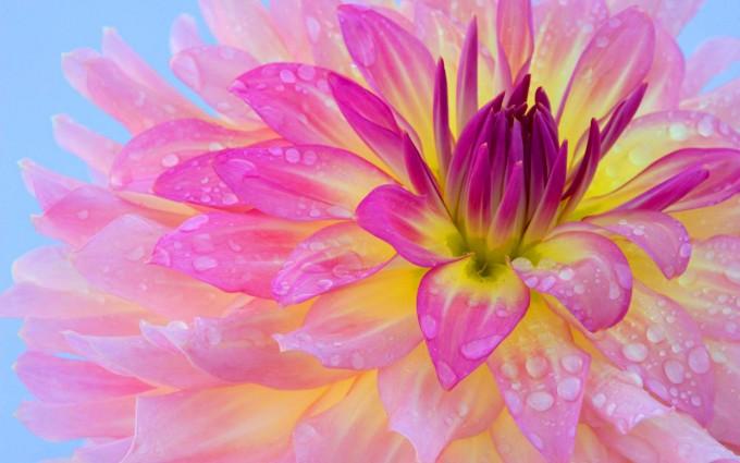 morning flower dew wallpaper
