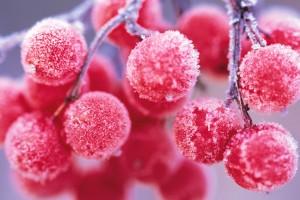 nature winter red berries