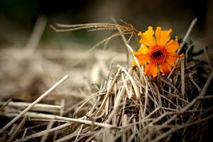 orange flower hay