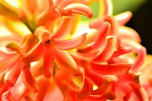orange hyacinth hd