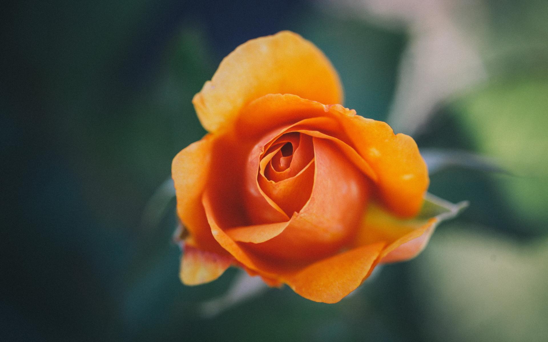 orange rose wallpaper