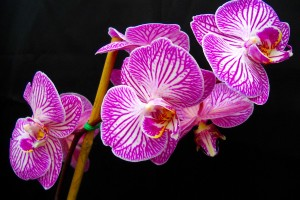 orchids hd