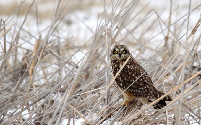 owl bird breed