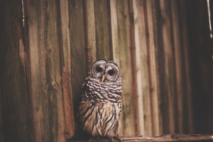 owl bird photo