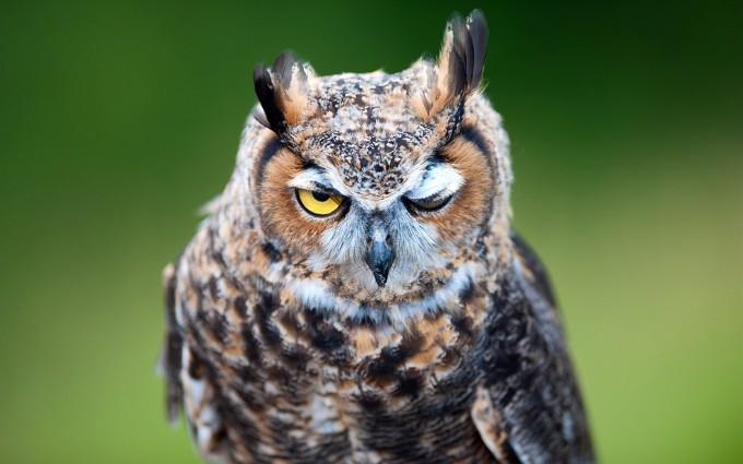 owl fierce look