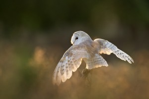 owl flying images