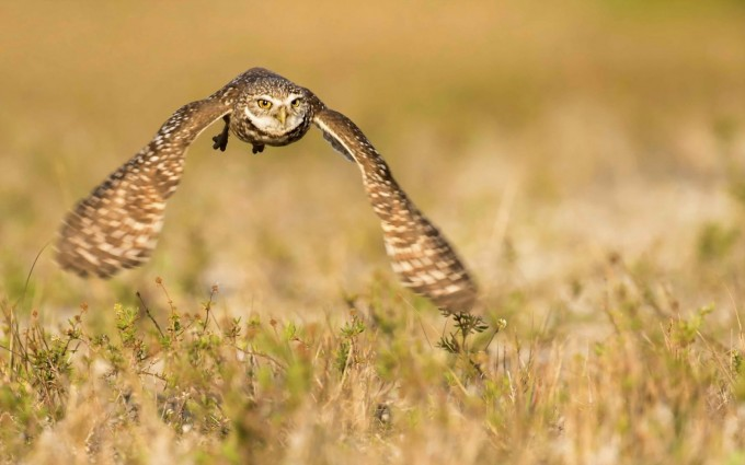 owl flying nature