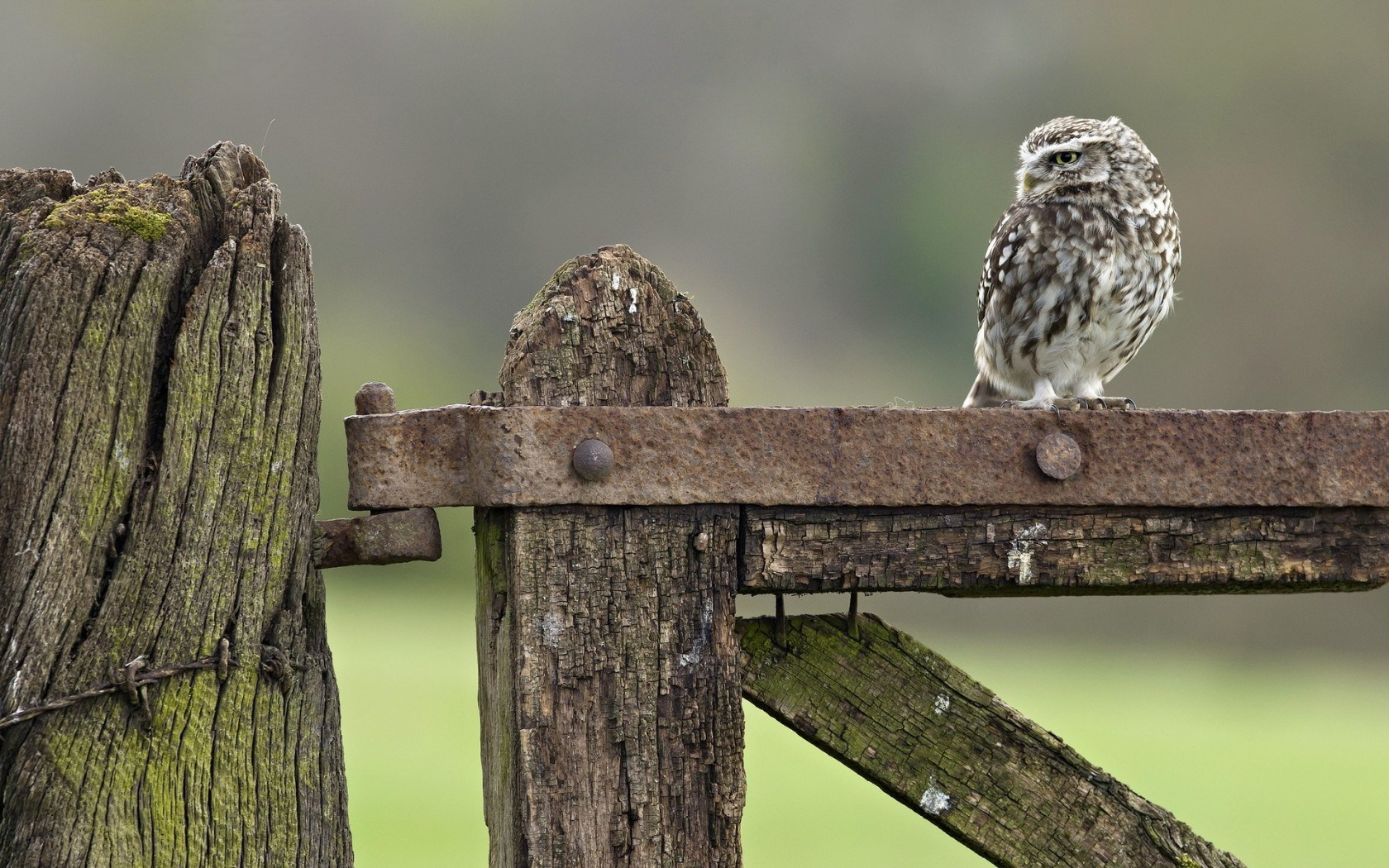 owl little