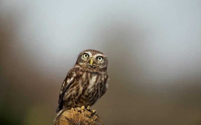 owl nature wallpaper