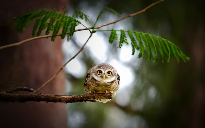 owl pictures desktop download