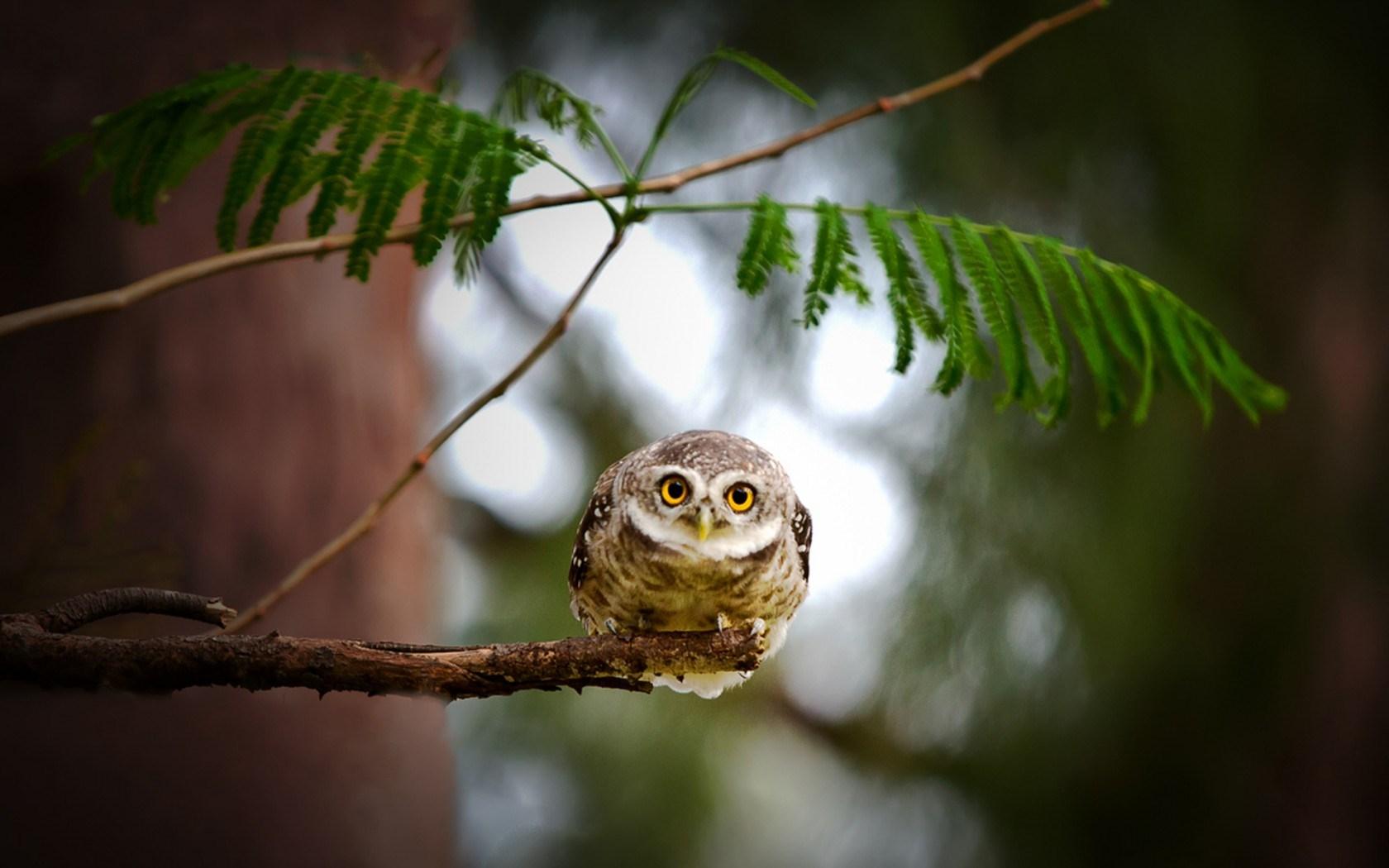 owl pictures desktop download