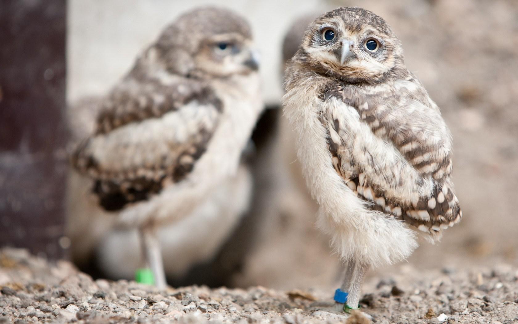 owls cute birds