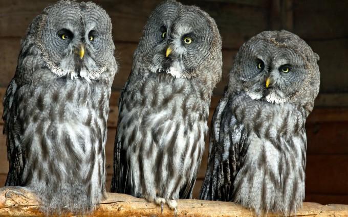 owls family wallpaper