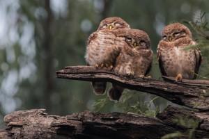 owls forest wallpaper