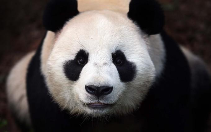 panda cute wallpaper