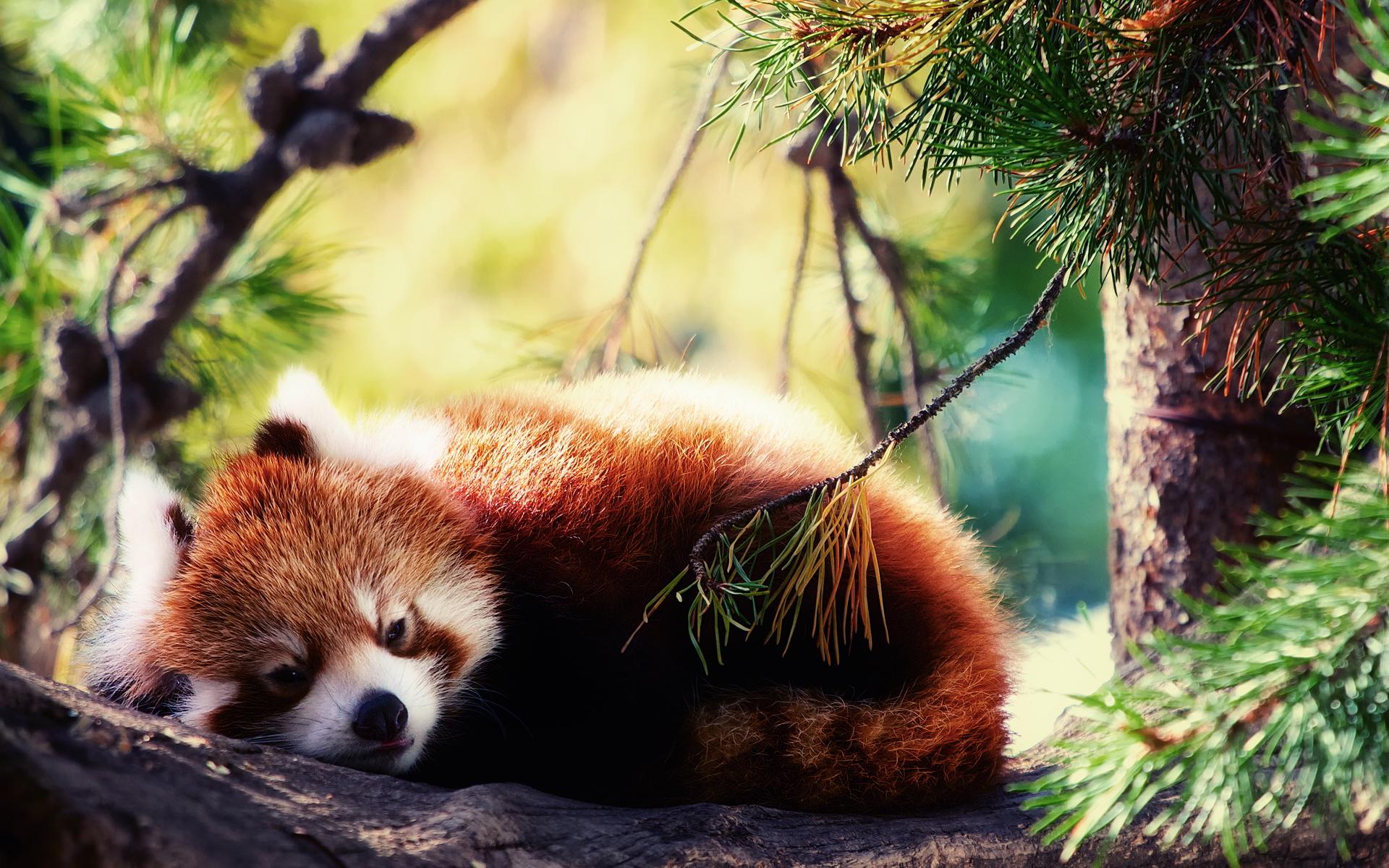 panda images hd